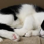 Спазм мочевого пузыря у кота: симптомы, чем это опасно и что делать
