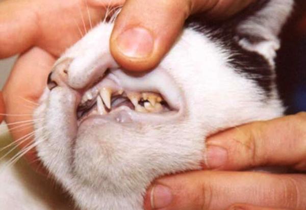 Анемия у кошки