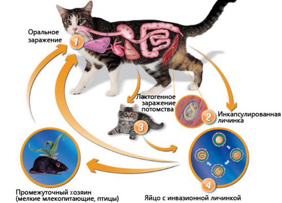 Жизненный цикл токсокароза