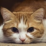Токсокароз у кошек: причины появления, симптомы и лечение